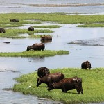 Water-Buffalo-Sri-Lanka