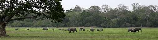 Lahugala Elephants